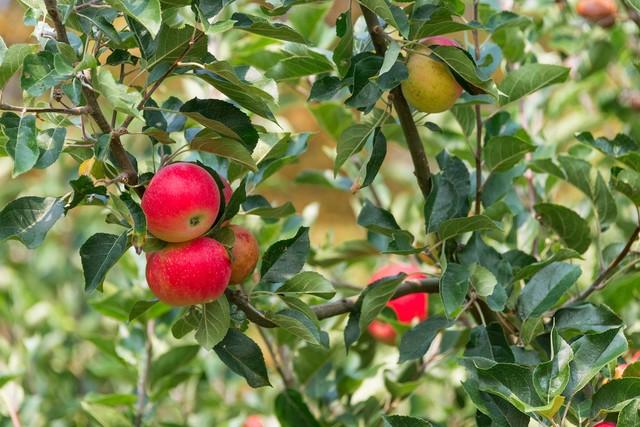 Äpfel im Obstgarten des Hildegard-Forums Bingen